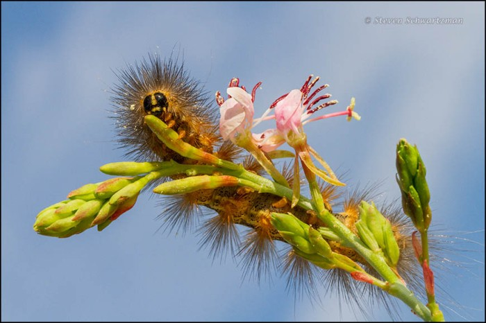 Woolly Bear Caterpillar on Gaura Flowers 1562