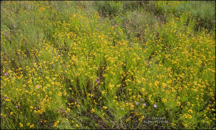 yellow-bitterweed-colony-with-some-prairie-agalinis-9938