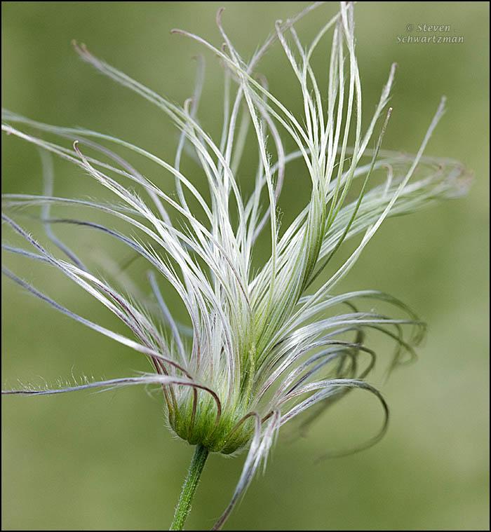 clematis-drummondii-silky-fibers-9577a