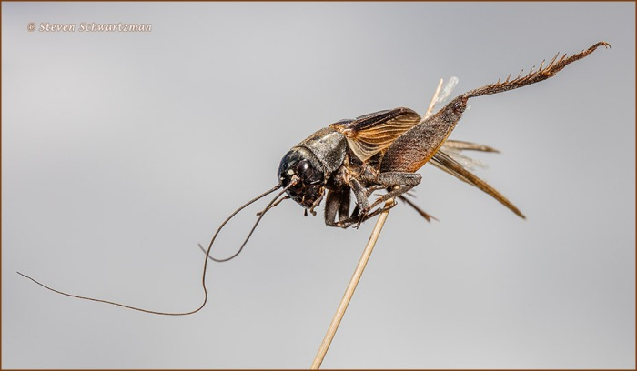 dead-cricket-on-grass-stalk-0542