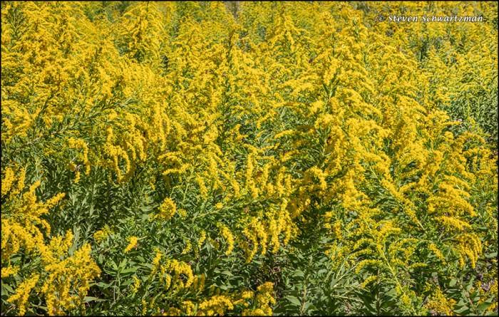goldenrod-densely-flowering-0858