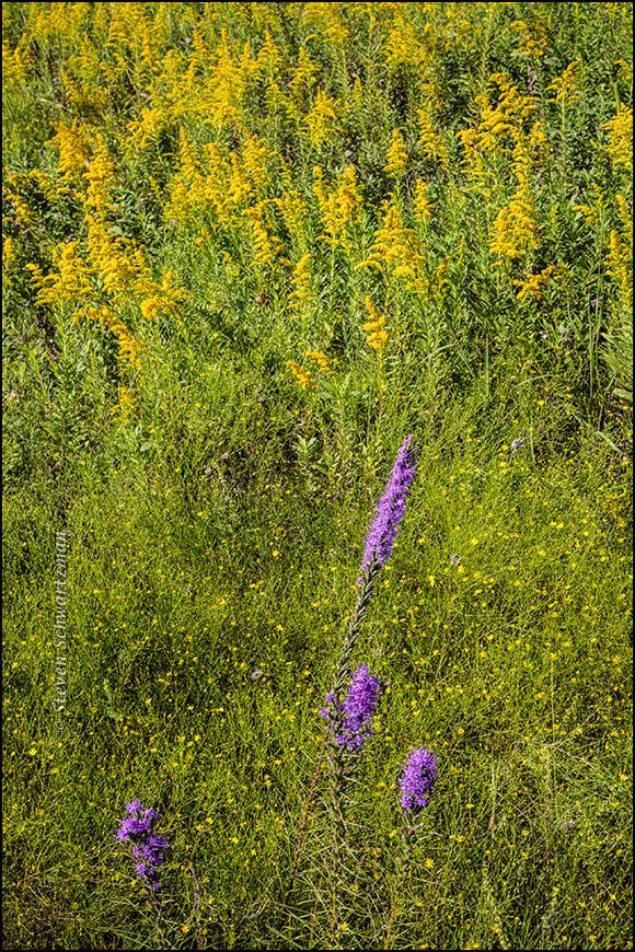 liatris-goldenrod-broomweed-0783