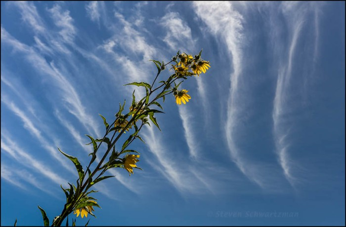 maximilian-sunflower-swaying-by-streaky-clouds-1257