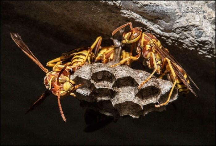 paper-wasps-working-on-nest-7121