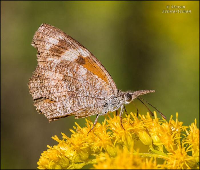 snout-butterfly-on-goldenrod-flowers-0755