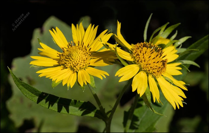 two-cowpen-daisy-flower-heads-1201