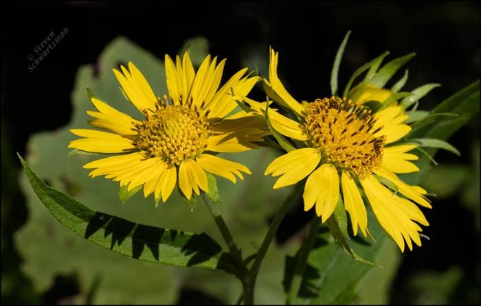 two-cowpen-daisy-flower-heads-1201