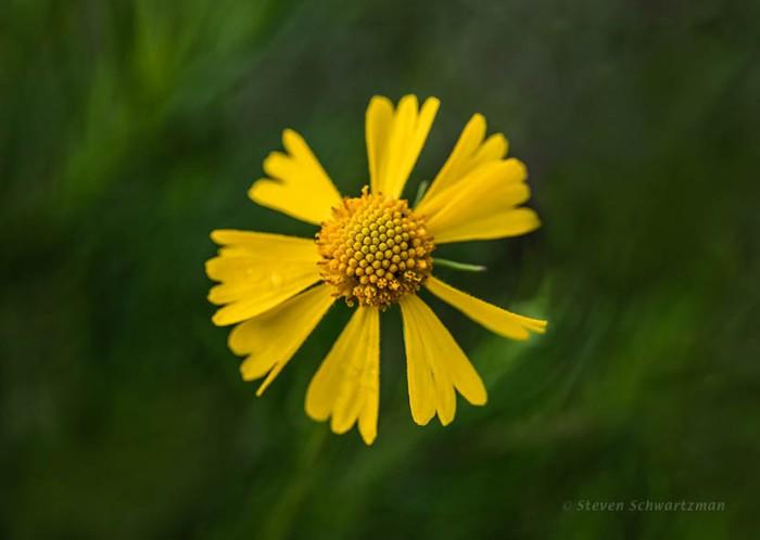 yellow-bitterweed-flower-head-7049