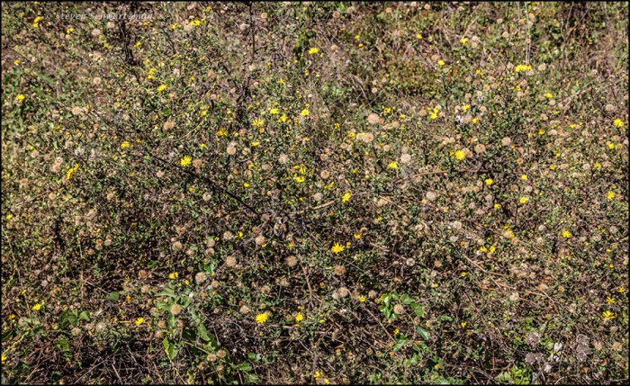 camphorweed-colony-in-several-stages-1698