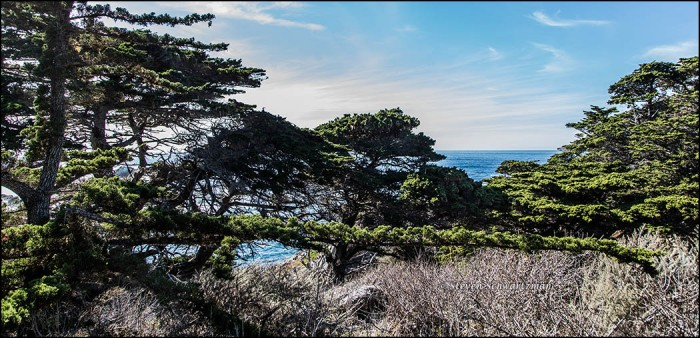 cypress-tree-with-long-horizontal-branch-9922
