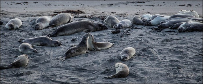 elephant-seals-on-beach-0322