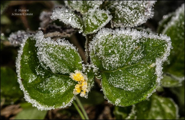 frost-on-straggler-daisy-3280