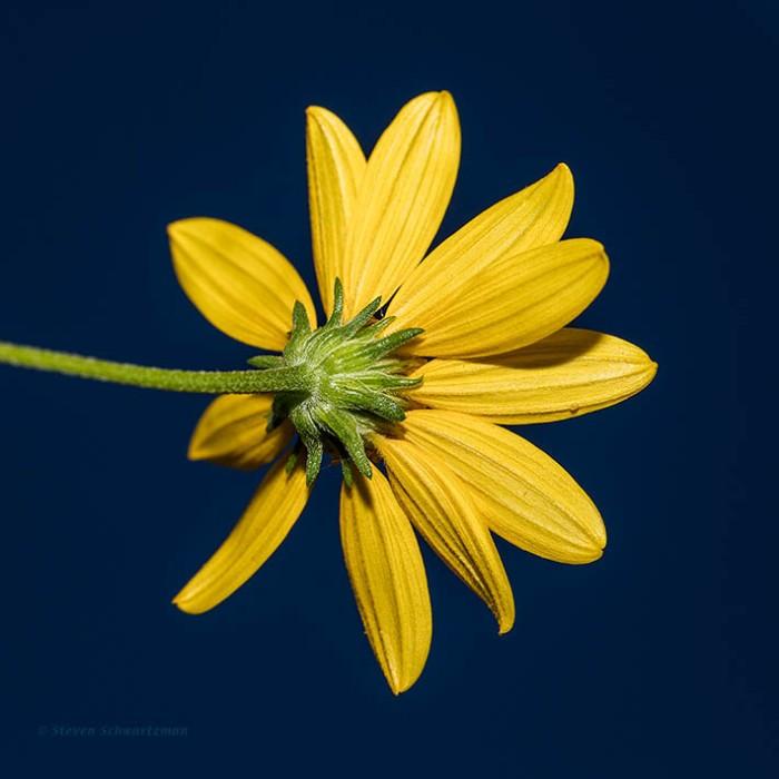 goldeneye-flower-head-1305