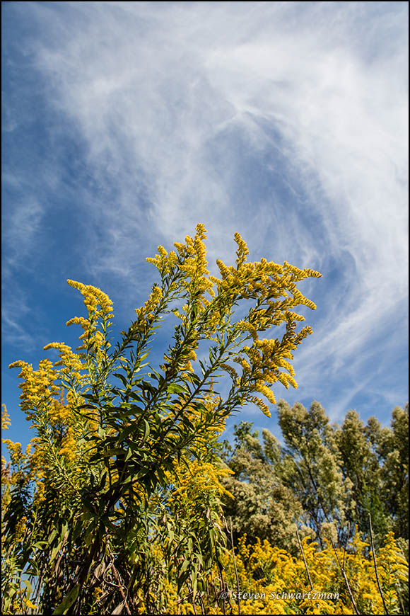 goldenrod-flowering-with-wispy-clouds-1782