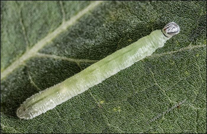green-larva-on-buffalo-gourd-leaf-1421