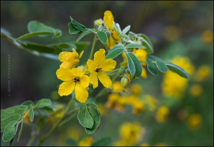 lindheimers-senna-flowers-by-yellow-bitterweed-flowers-0059