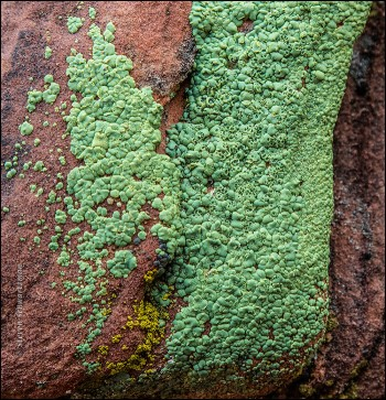 vibrant-green-lichen-on-reddish-rock-6016