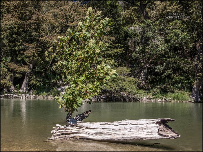 young-sycamore-by-tree-trunk-remains-in-river-1177