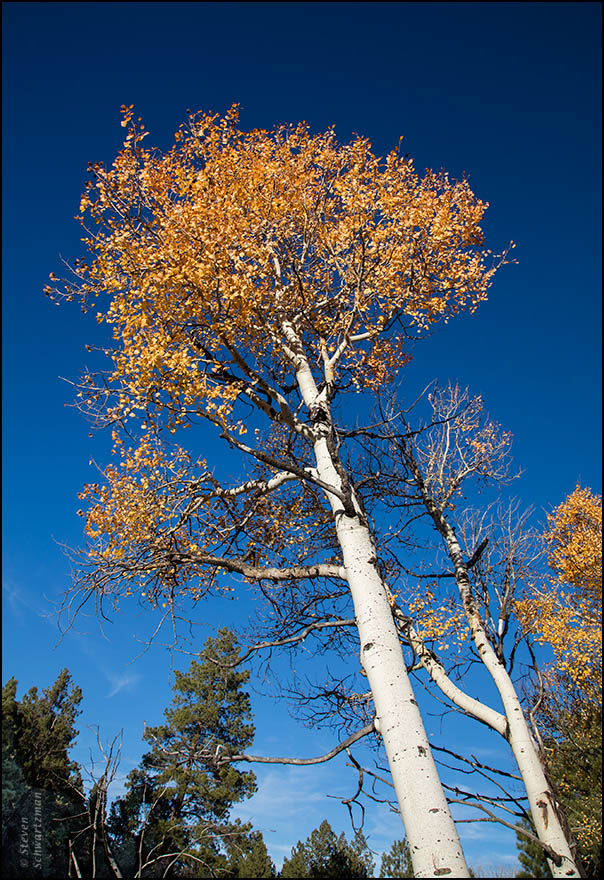 aspen-tree-turning-yellow-orange-2932