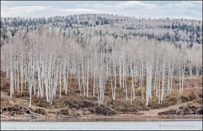 bare-aspen-trees-5674