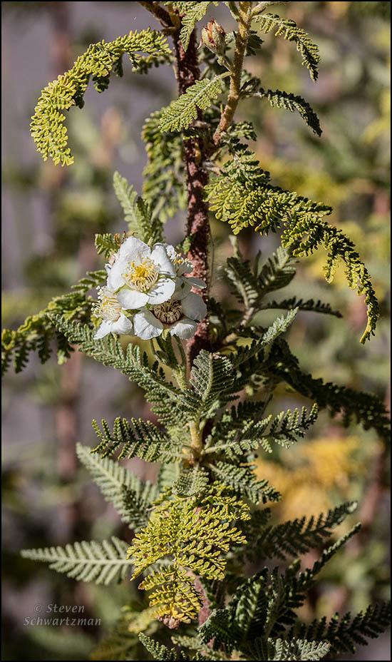 chamaebatiaria-millefolium-flower-2753