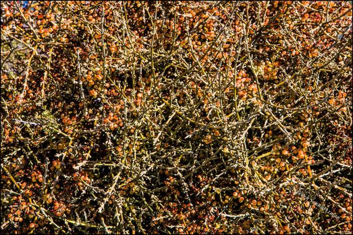 desert-mistletoe-fruit-1669