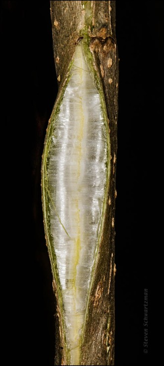 frostweed-ice-splitting-stalk-4358