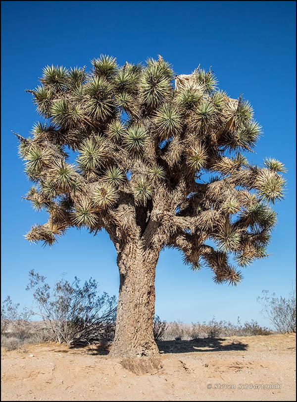 joshua-tree-7150