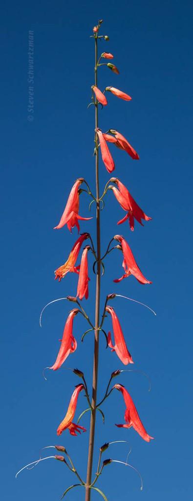 penstemon-barbatus-flowering-3567