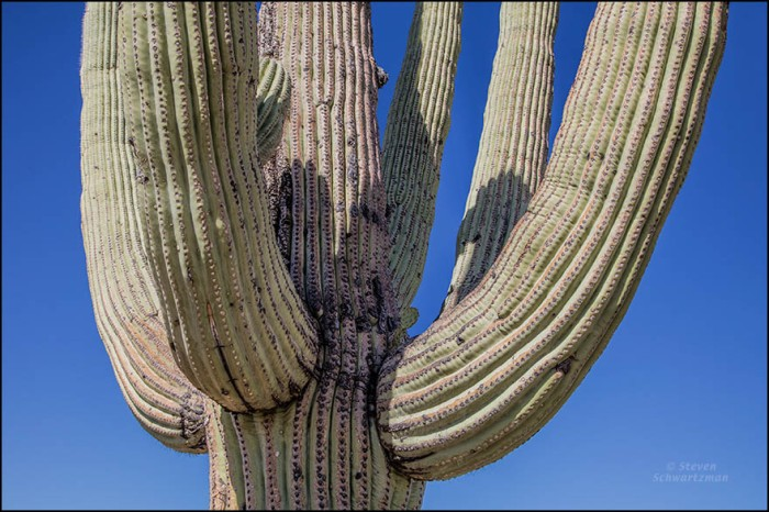 prickly-pear-cactus-in-cleft-of-saguaro-2476