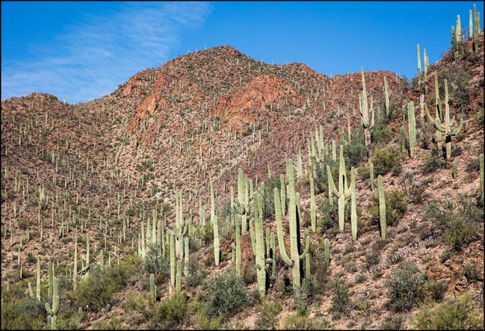 saguaro-colony-on-mountain-slopes-1501