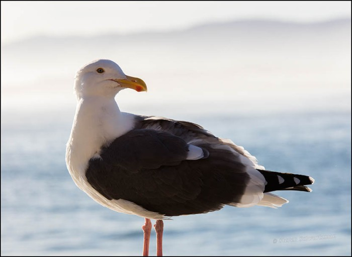 seagull-at-morro-bay-0382