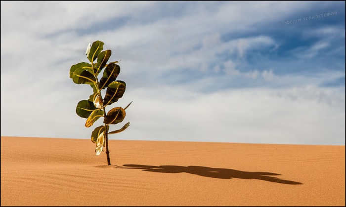 welshs-milkweed-on-coral-pink-sand-dunes-5246