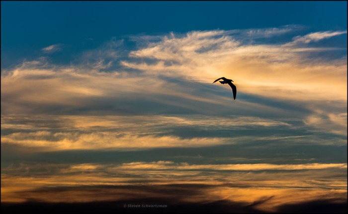 western-gull-at-pacific-ocean-sunset-0272