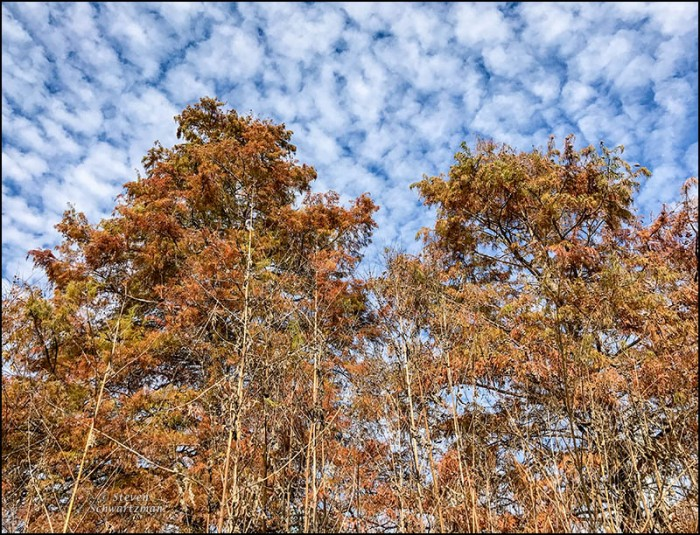 bald-cypress-turning-colors-with-scalloped-clouds-and-dry-giant-ragweed-1131
