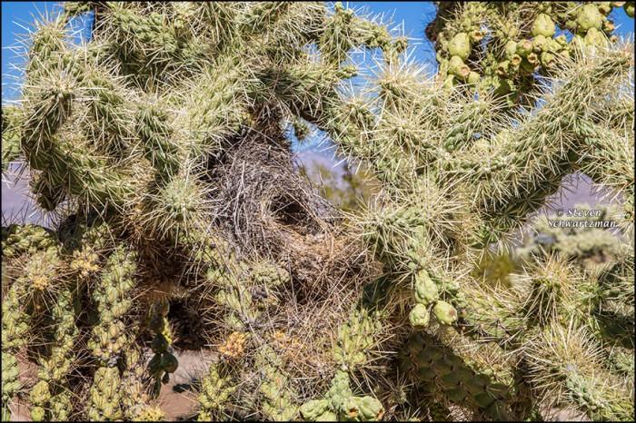 cactus-wren-nest-in-cholla-cactus-2471
