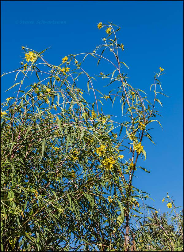 california-sunflower-flowering-8992