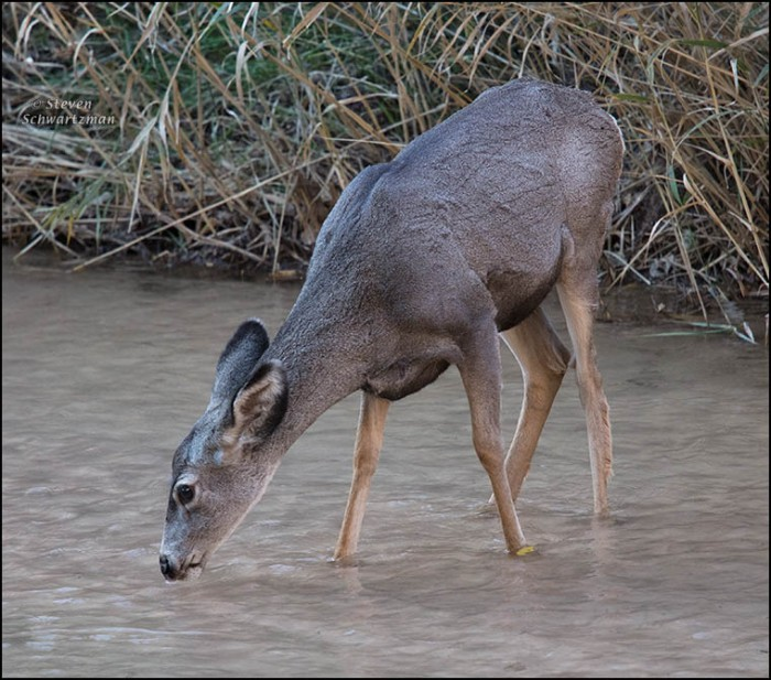 deer-drinking-in-river-4840