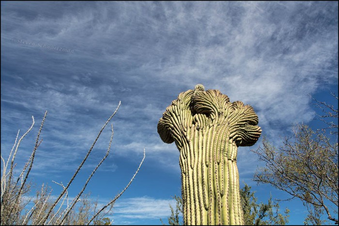 fasciated-saguaro-with-wispy-clouds-and-ocotillo-1963