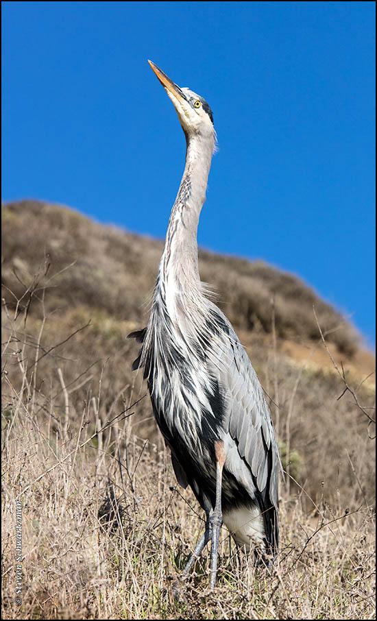 great-blue-heron-8888