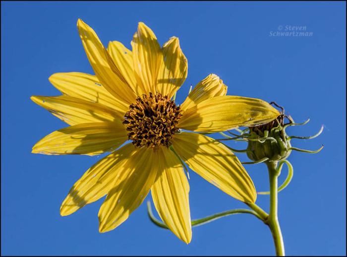 helianthus-californicus-flower-head-9007
