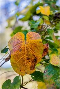 pearl-milkweed-vine-leaves-changing-colors-3979