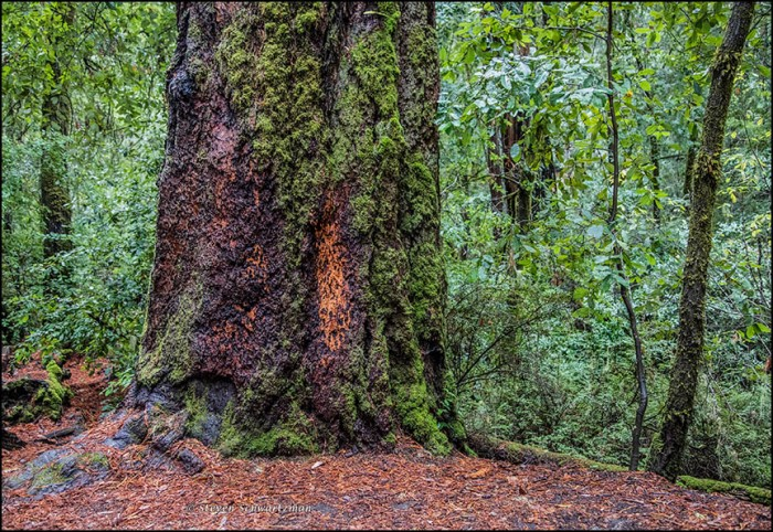 redwood-tree-trunk-with-orange-patch-8522