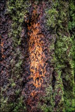 redwood-tree-trunk-with-orange-patches-8510