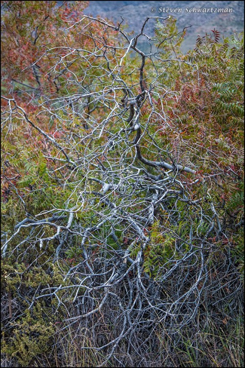 scraggly-dead-tree-by-colorful-sumacs-3028