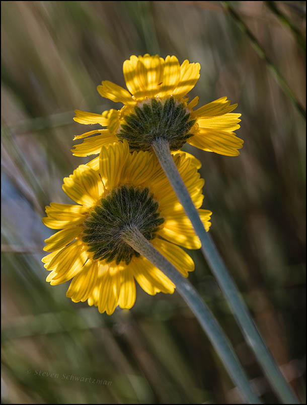 two-four-nerve-daisy-flower-heads-0641