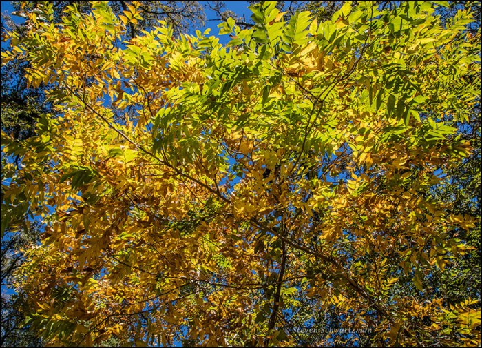 western-soapberry-tree-turning-colors-3730