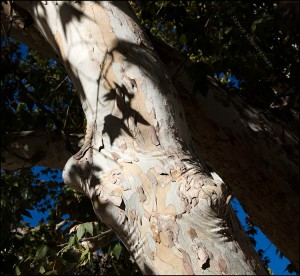 arizona-sycamore-trunk-and-shadows-2540