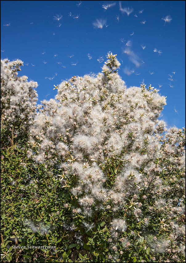 coyote-bush-with-fluff-flying-9103