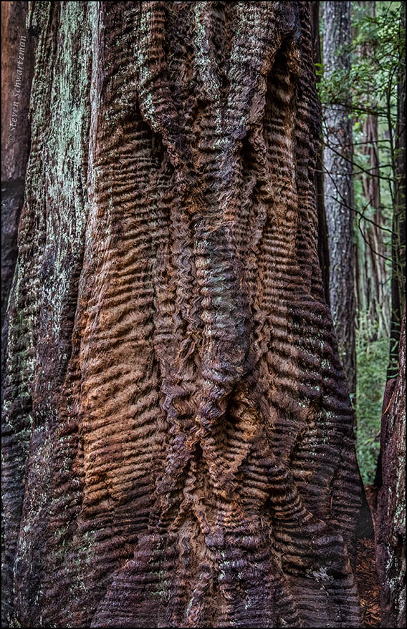 redwood-tree-trunk-with-corrugations-8655